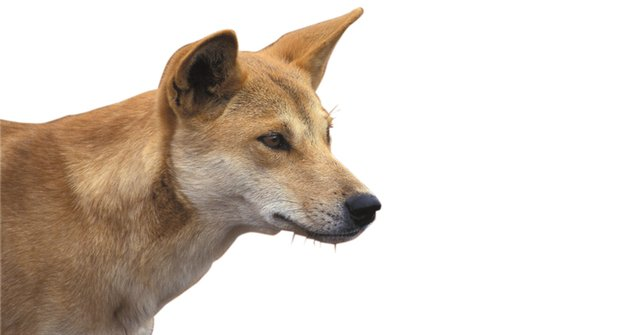 Moc velký dingo: Jak lidé zvětšili divoké psy
