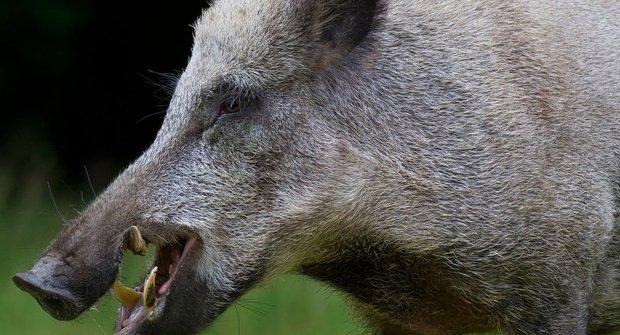 Problémy s černou zvěří: Přemnožená prasata míří do měst