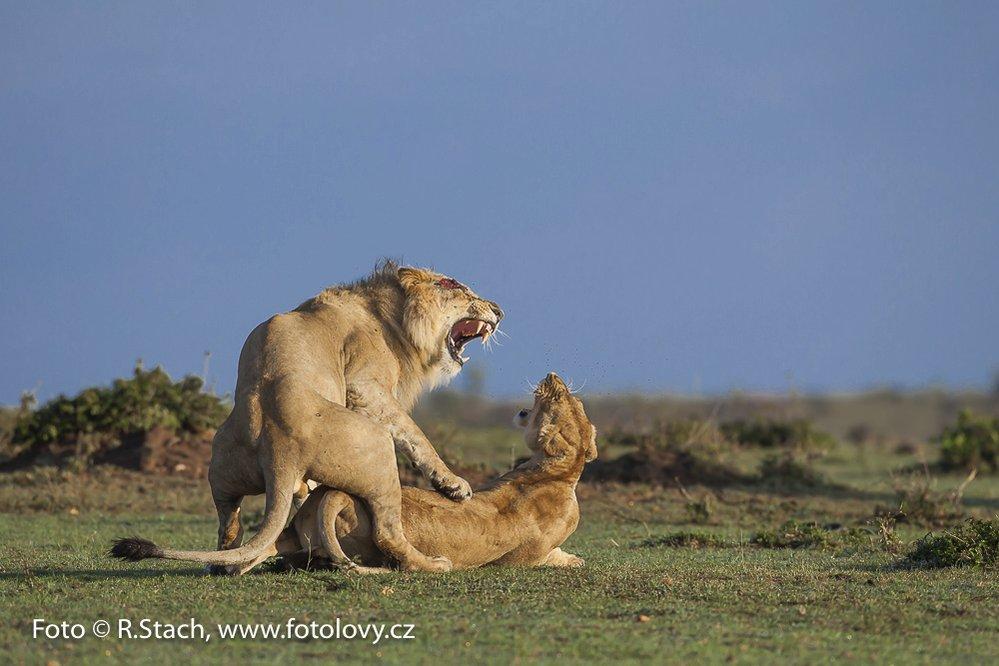 Páření lvů v keňské rezervaci Masai Mara