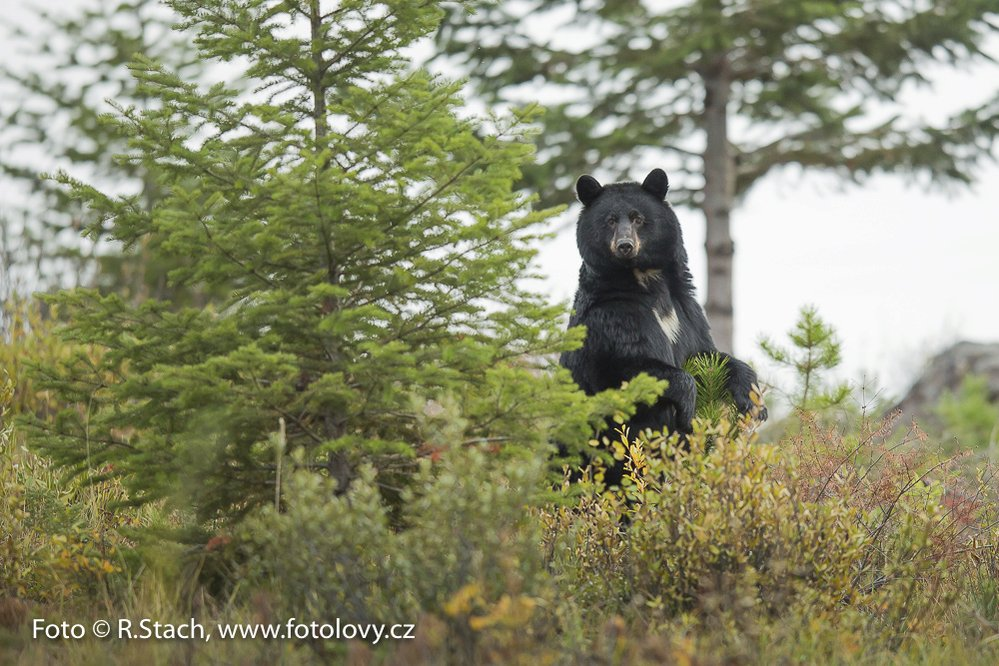 Medvěd černý. Jasper,  N.P., Alberta, Kanada