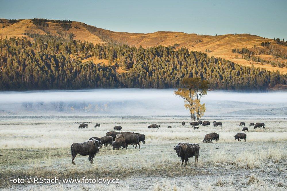 Bizoni v údolí Lamar. Yellowstone N.P.,  Wyoming, USA