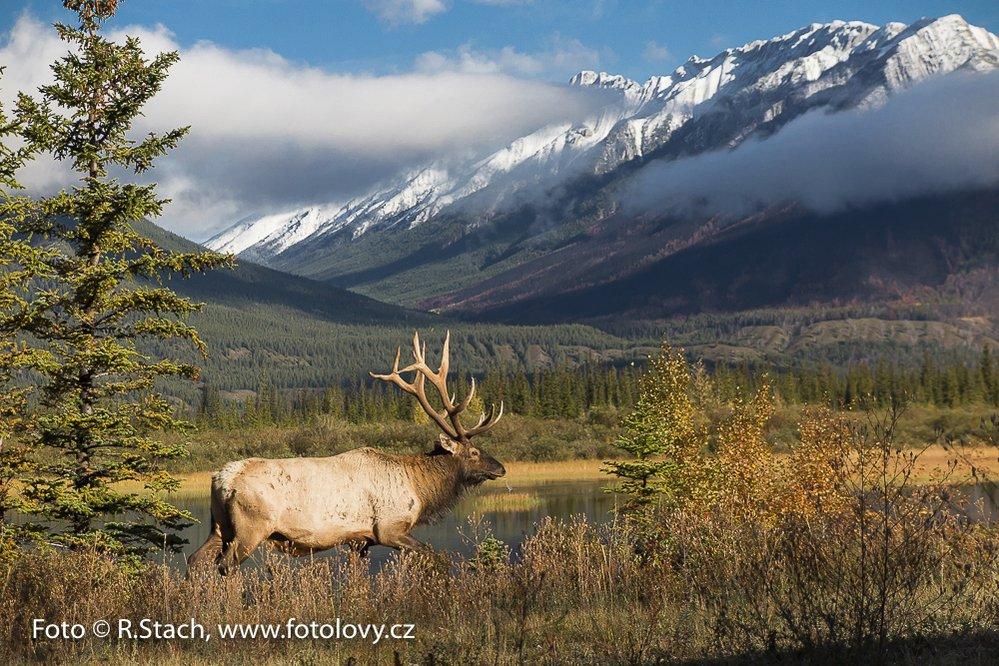 Jelen wapiti. Jasper,  N.P., Alberta, Kanada