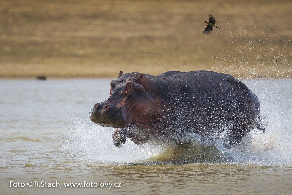Běžící hroch. Jižní Luangwa, Zambie
