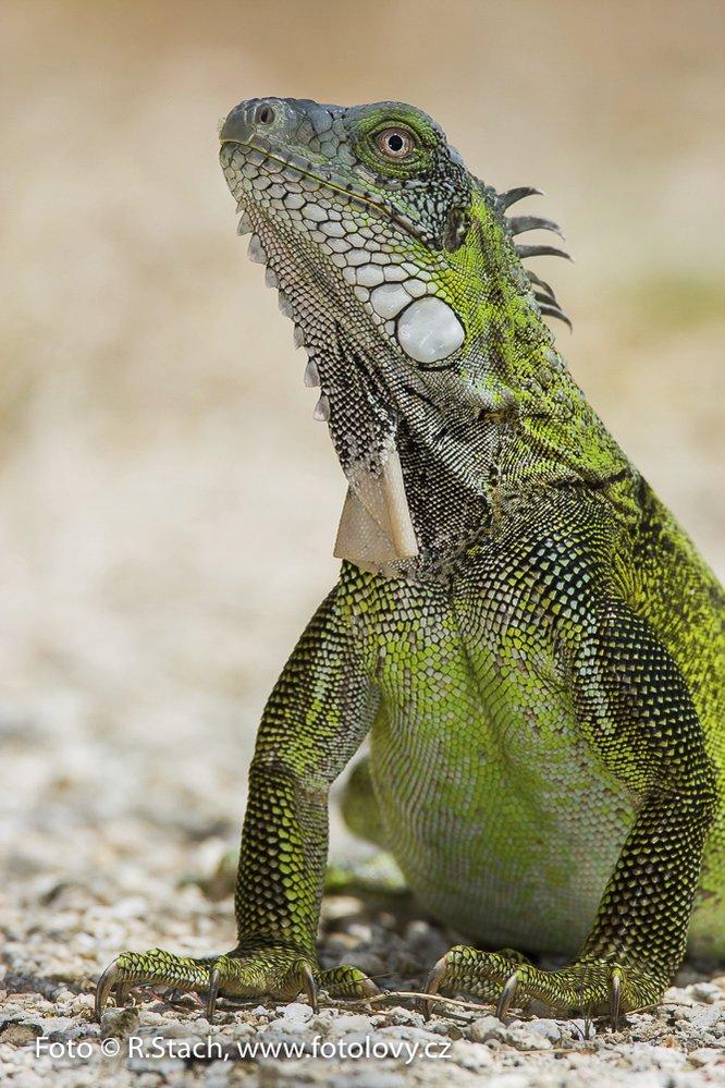 Endemický leguán zelený. Ostrov Bonaire, Nizozemské Antily