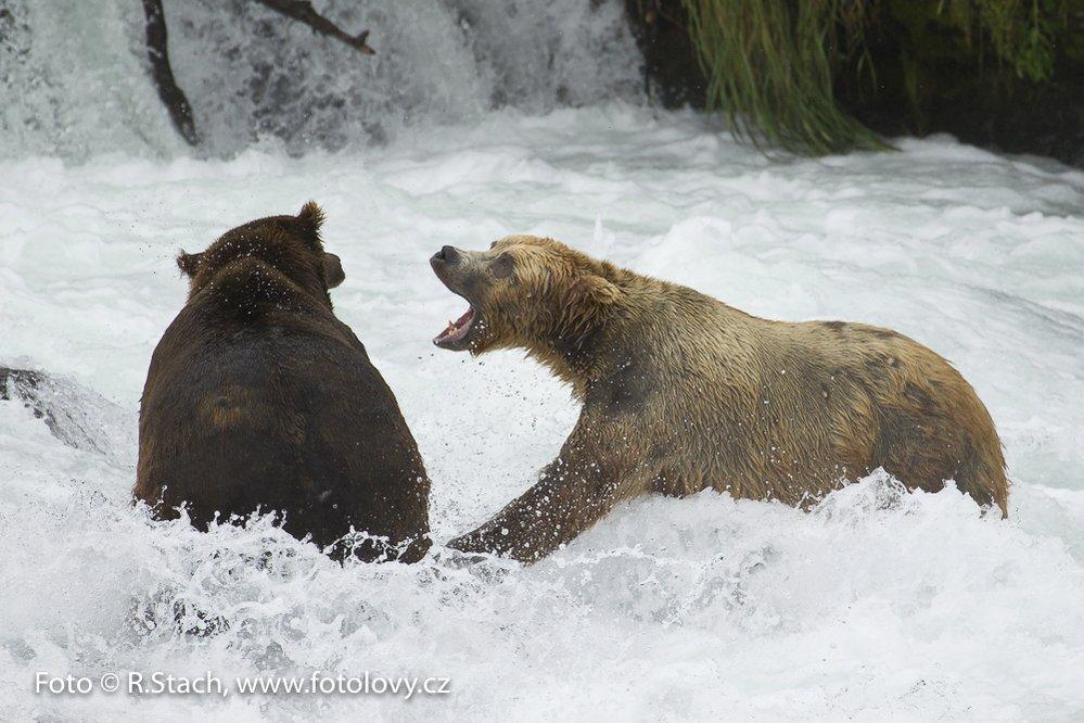 Medvědi v peřeji, Rezervace Katmai, N.P., Aljaška
