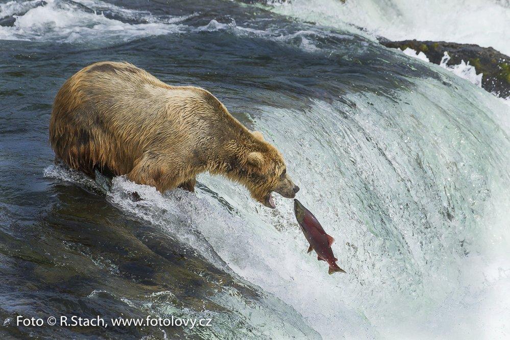 Lov lososa. Rezervace Katmai, N.P., Aljaška.