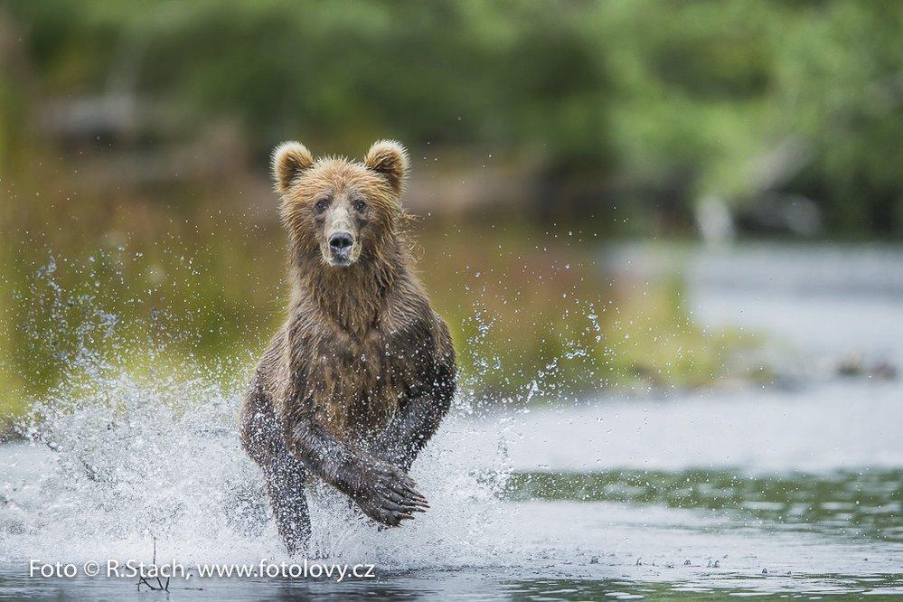 Medvěd lovící v řece na ostrově Kodiak Aljaška