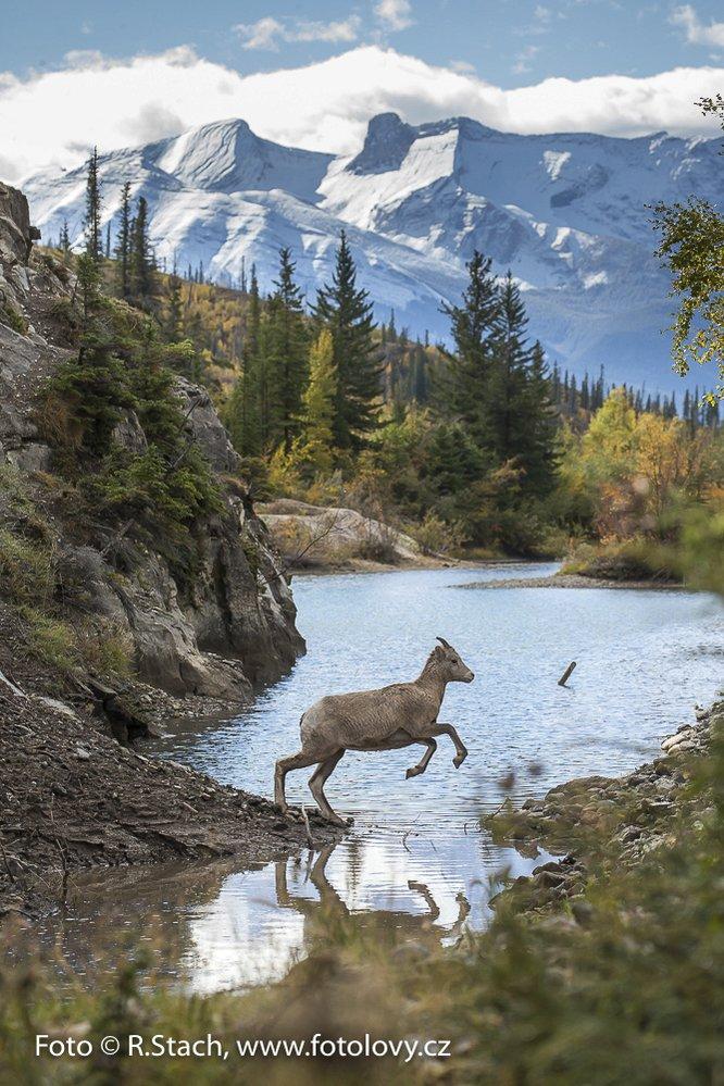 Ovce tlustorohá. Jasper  N.P., Alberta, Kanada