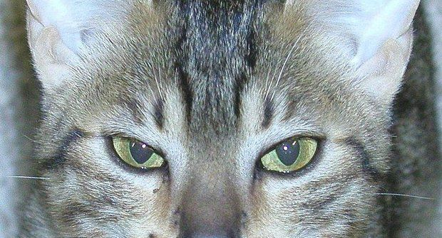 Kočičí plemena: Egyptská mau má vůdčí osobnost