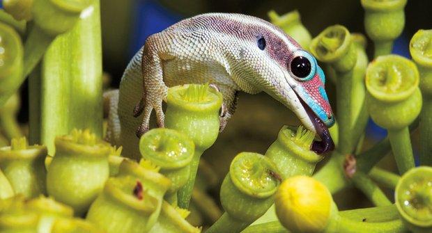 Válka gekonů: Jak se z mazlíčka stane vetřelec