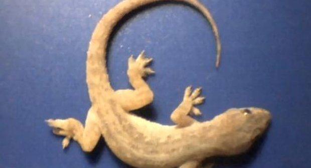 Krutá příroda: Mravenci versus gekon