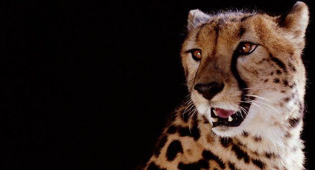 Záhady přírody: Jak gepard k pruhům přišel