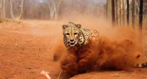 Gepard a kuře: To je fofr!
