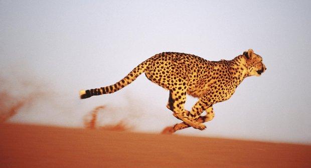 Slabý gepard zdrhá: Sprinter savany není žádný velký silák