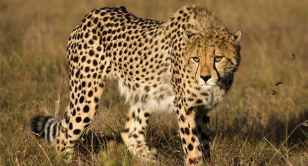 Gepardi se vracejí