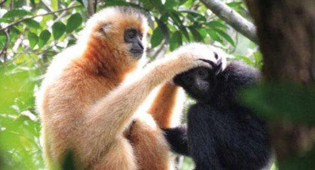 Opice na opičí dráze: Mosty pro gibony