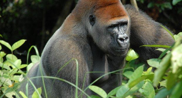 Hrozivé červené seznamy: Která zvířata může člověk komplet vyhubit
