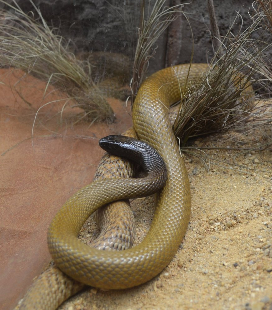 Taipan menší, nejjedovatější had světa.