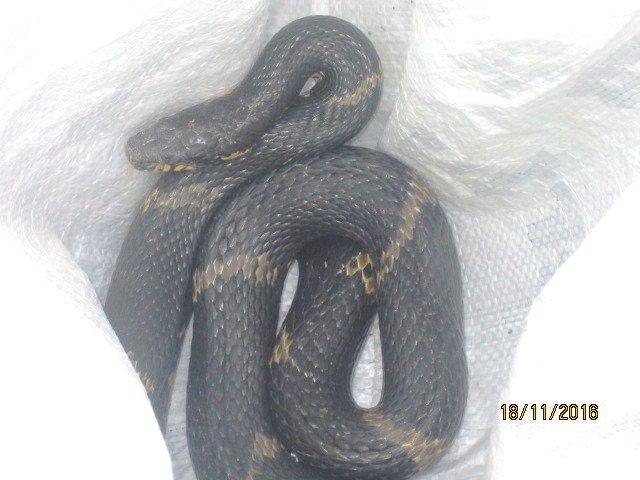 V Hradci Králové odchytávali exotického hada