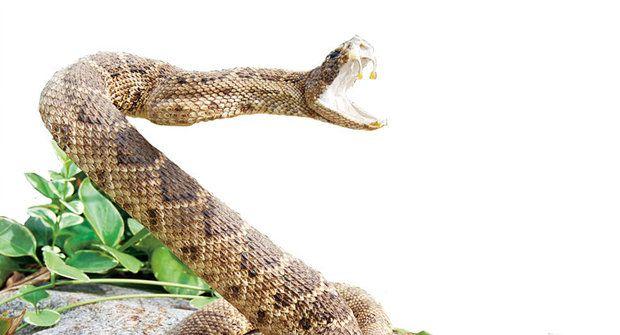 Bacha, kouše! Hadi zabíjejí i po smrti