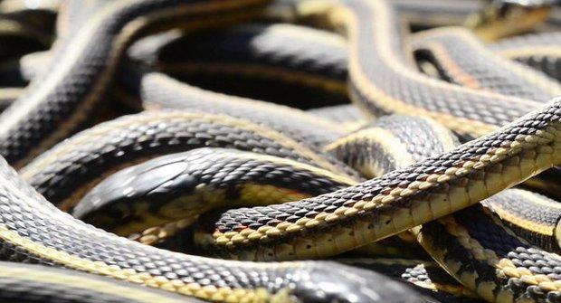 Největší slezina jedovatých hadů na světě: Bacha, kam šlapete