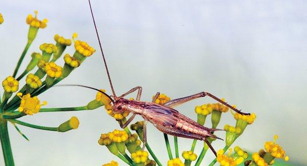 Cvrkaví hmyzáci: Umí hrát na housle i bubnovat