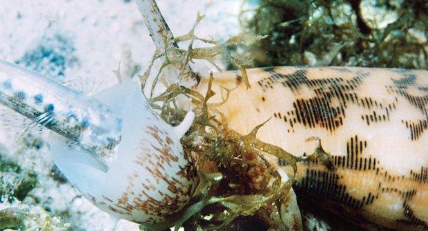 Šneci s harpunou: Pomalí lovci zabíjejí jedem