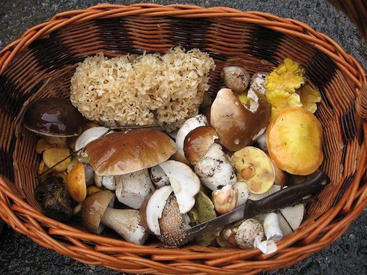 Kotrče na Vysočině - V okolí Vlašimi na Vysočině jde najít pestrá směs hub. Koše se zaplňují hřiby, klouzky, křemenáči či masáky. Vzácností je kotrč, ze kterého se dá uvařit výborná falešná dršťková polévka.