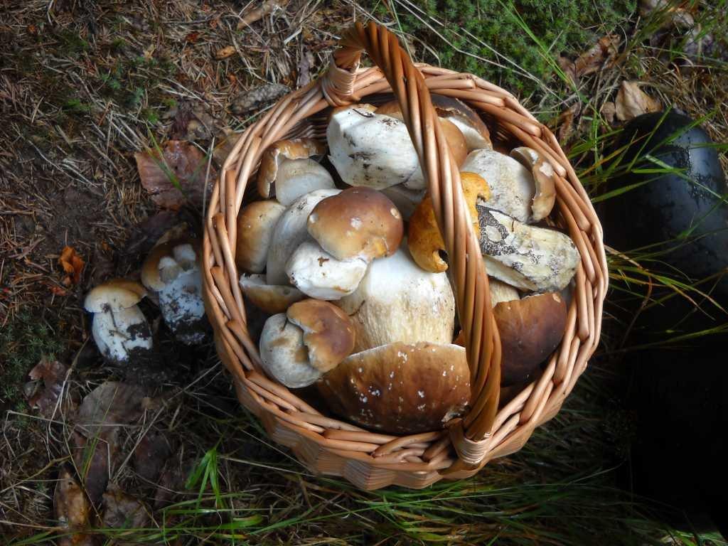 Houby z Trutnovska - V okolí Křenova na Trutnovsku mají houbaři v košíku nejčastěji hřiby smrkové. Jsou veliké a zdravé. Ty velké se hodí na omáčku či do polévky, malinké hříbečky na naložení do octa.