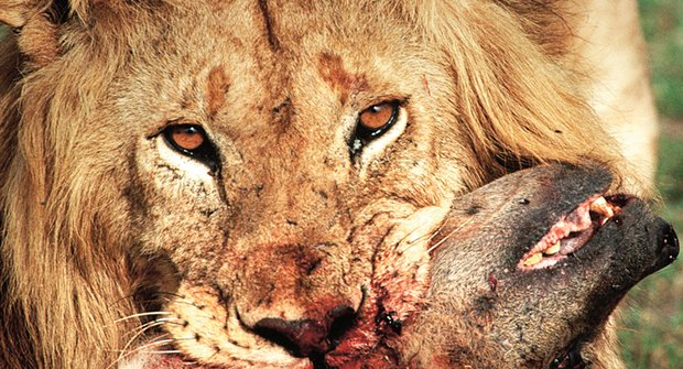 Kdo je silnější? Válka mezi lvy a hyenami