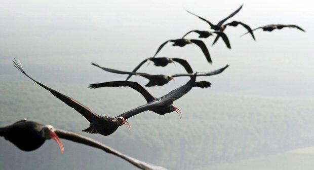 Pěstouni na ultralightu: Jak se ibisové naučili létat