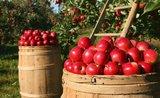 Ako uskladniť jablká, aby zostali šťavnaté až do jari