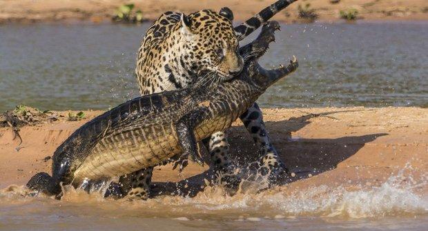 Drsný jaguár žere krokodýla!