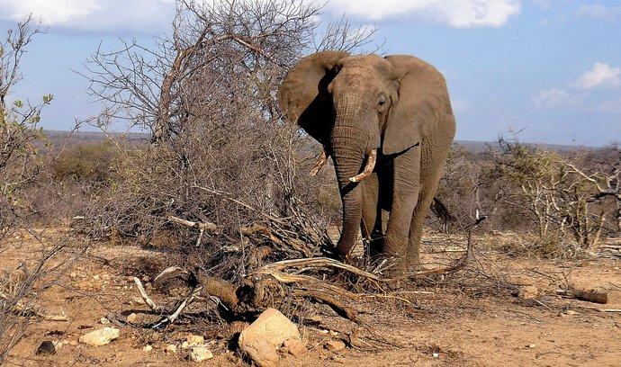 Slon v jihoafrické rezervaci Balule hlídané kamerami mobilních telefonů.