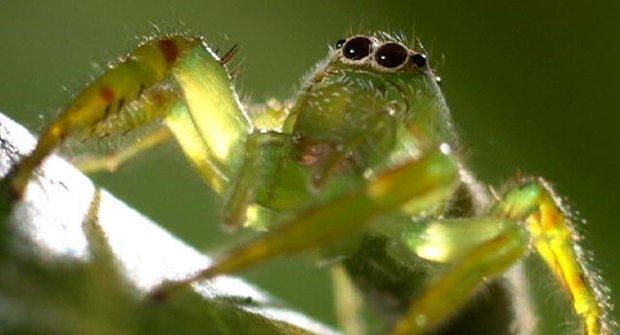 Zabij nebo budeš zabit: Z pavouka lovce se může stát oběť
