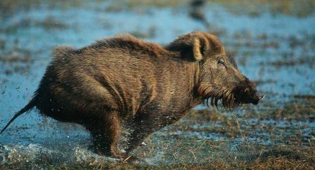Neobyčejné pohledy na obyčejná prasata