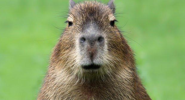 Vodní maximorče: Největší hlodavec světa kapybara