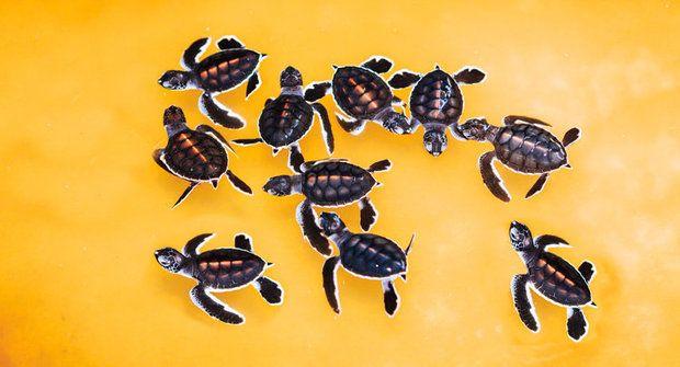Želví porodnice: Chraňte mláďata karety obrovské