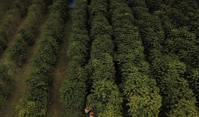 Sklizeň kávy v Brazílii je ohrožena mrazem