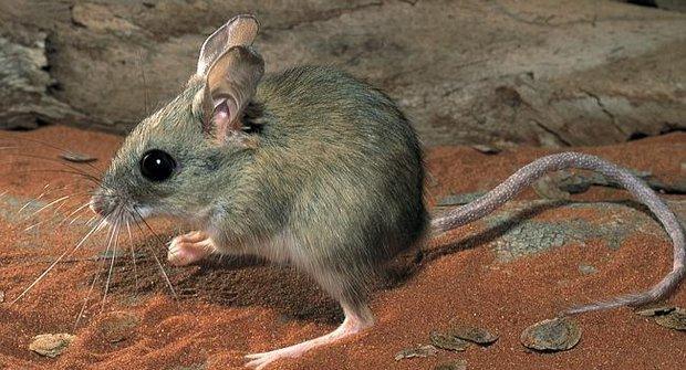 Noční život v poušti: Klokanomyši to mají těžké