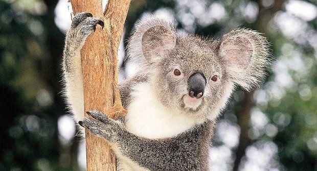 Koala umí šplhat i skákat jako opice, ale smrtícím plamenům neunikne