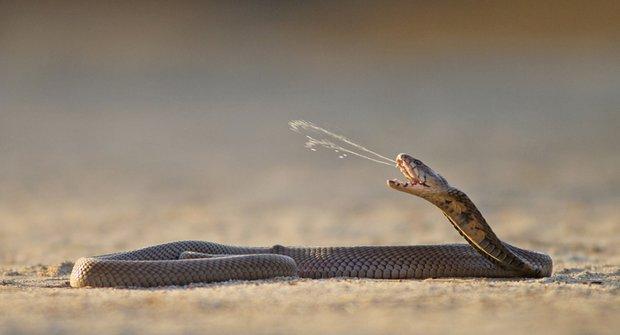 Smrtící plivnutí: Jedovatá strategie kobry mosambické