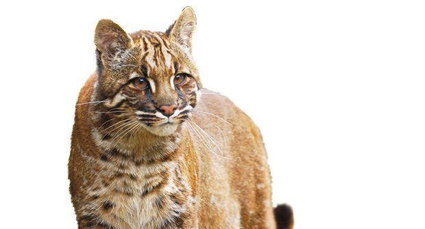 Nová záhada tajemné šelmy: Kočka šesti barev