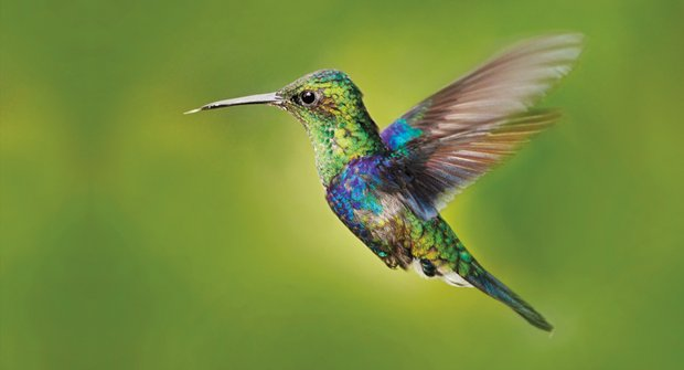Proč jsou kolibříci tak barevní: Možná mají peří jako dinosauři