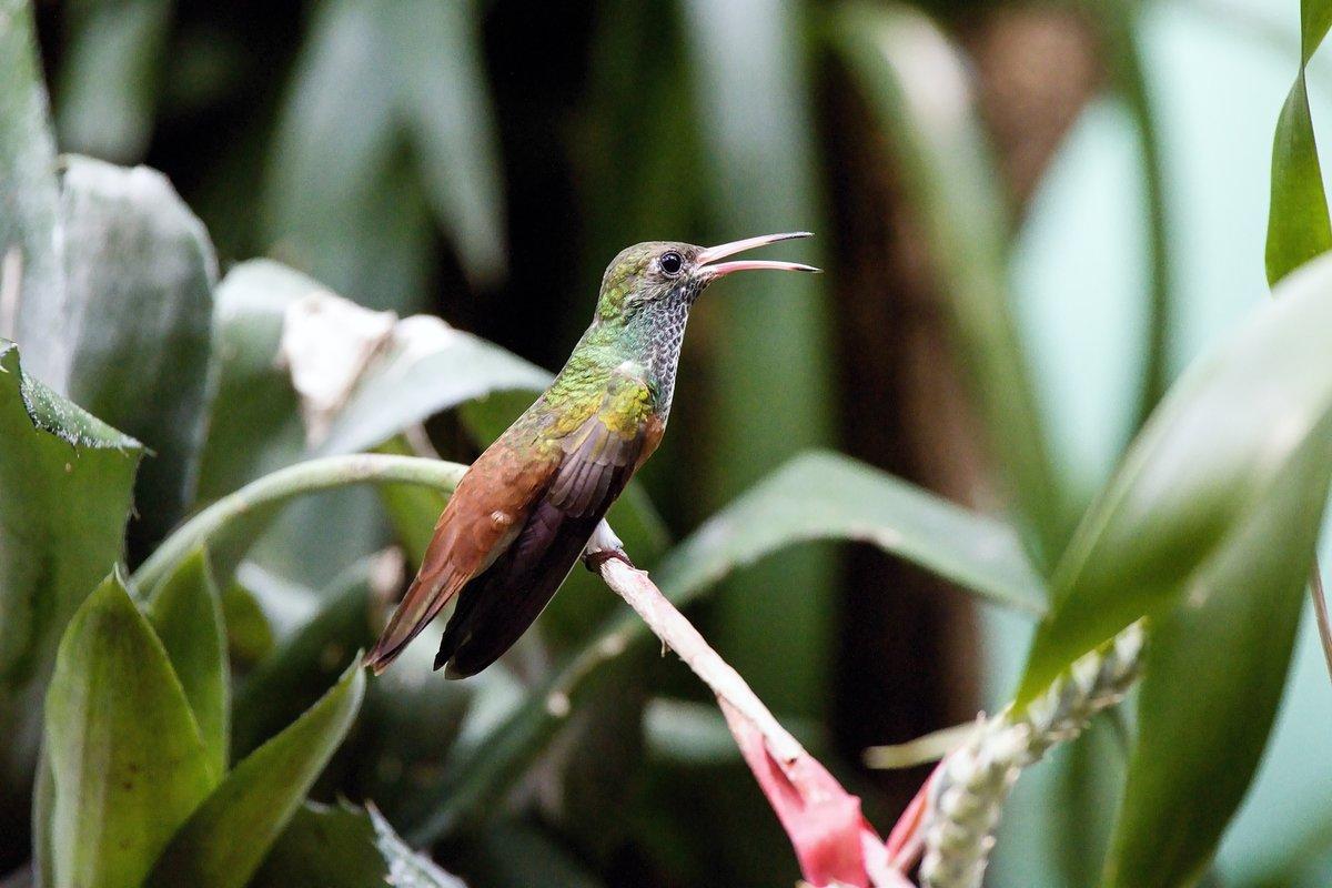 Bestrobarevná samička létající »drahokam« nezapře.