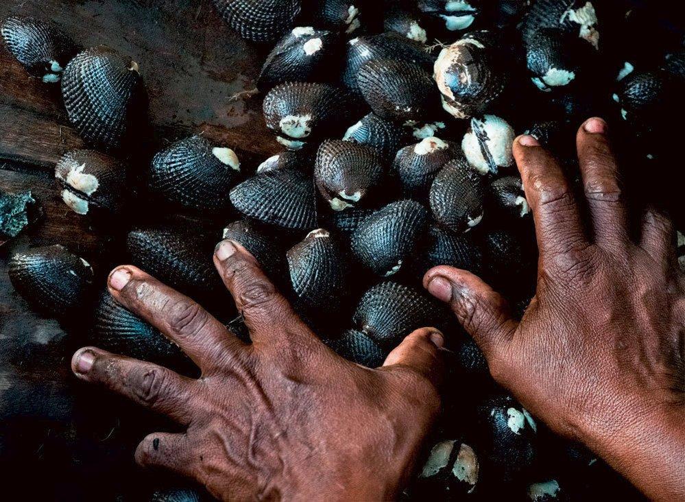 """Mušle Anadara tuberculosa je v různých zemích známá pod různými jmény. V Kolumbii a na Kostarice je to piangua, v Mexiku se mušli říká pata de mula, tedy něco jako """"oslí tlapa"""". V Panamě je to chucheca, v Salvadoru curil, a konečně v Nikaragui, Ekvádoru a Peru je to prostě concha negra čili """"černá mušle""""."""