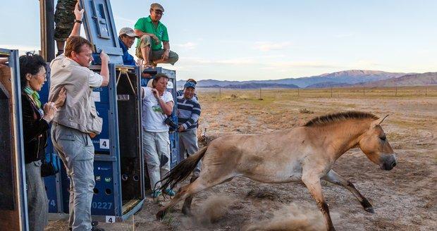 Vypouštění koně Převalského do Přísně chráněné oblast Gobi B v roce 2014.