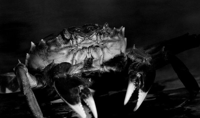 Krab říční zachycený v Nizozemsku