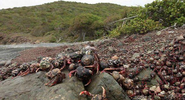 Hlavní je mít kámoše: Milióny krabů vyráží na cestu