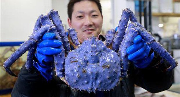 V Japonsku vylovili zmutovaného levandulového kraba